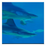 Pair of Sharks Poster