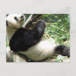 Panda and Bamboo Postcard