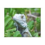Peek-a-boo Iguana Canvas Print