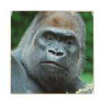 Perplexed Gorilla Wood Coaster
