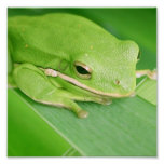 Picture of a Tree Frog Poster