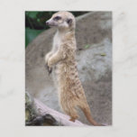 Poised Meerkat Postcard