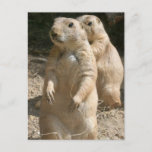 Prairie Dog Photo Postcard