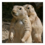 Prairie Dogs Poster Print