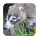 Prowling Coati Beverage Coaster