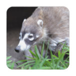 Prowling Coati Drink Coaster