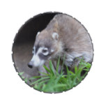 Prowling Coati Jelly Belly Candy Tin