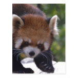 Prowling Red Panda Postcard