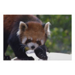Prowling Red Panda Poster