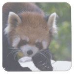 Prowling Red Panda Square Paper Coaster