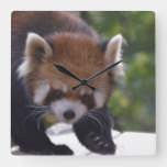 Prowling Red Panda Square Wall Clock