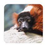 Resting Red Ruffed Lemur Coaster