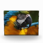 Ruffled Blue and Gold Macaw Award