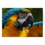 Ruffled Blue and Gold Macaw Card