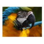 Ruffled Blue and Gold Macaw Postcard