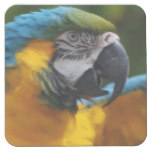 Ruffled Blue and Gold Macaw Square Paper Coaster