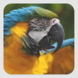 Ruffled Blue and Gold Macaw Square Sticker