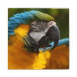 Ruffled Blue and Gold Macaw Wood Coaster
