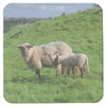 Sheep Family Square Paper Coaster