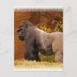 Silverback Gorilla Photo Postcard