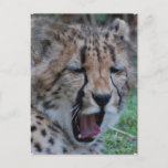 Sleepy Cheetah Cub Postcard