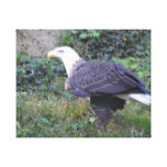 Standing American Bald Eagle Canvas Print