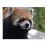 Sweet Red Panda Bear Postcard