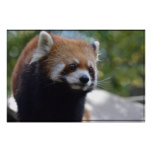 Sweet Red Panda Bear Poster