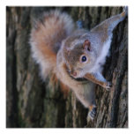 Tree Squirrel  Poster