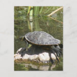 Turtle on a Rock Postcard
