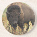 Wood Bison Coaster
