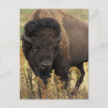 Wood Bison Postcard