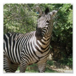 Zebra Photo Design Print