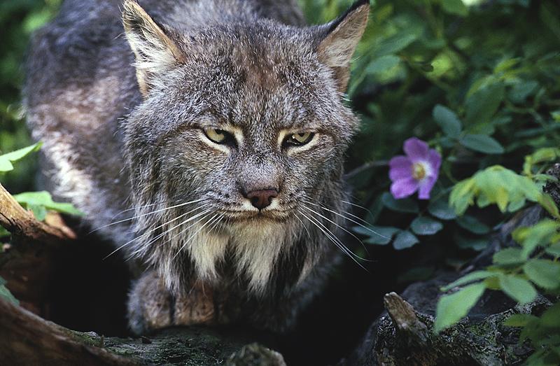Lynx Photo Gallery